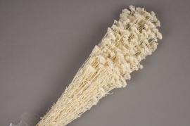 a003ab Achillea silvestre blanc H70cm