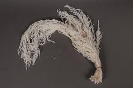 a031ab Amaranthus Caudatus blanchie