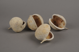 a105wg Pack of 6 budha nuts