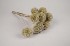 a115wg Chardon eryngium séché naturel H46cm