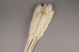 a545ab White dried Sorgho H75cm