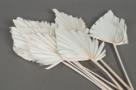 ae17ab Palm spear séché blanchi H60cm