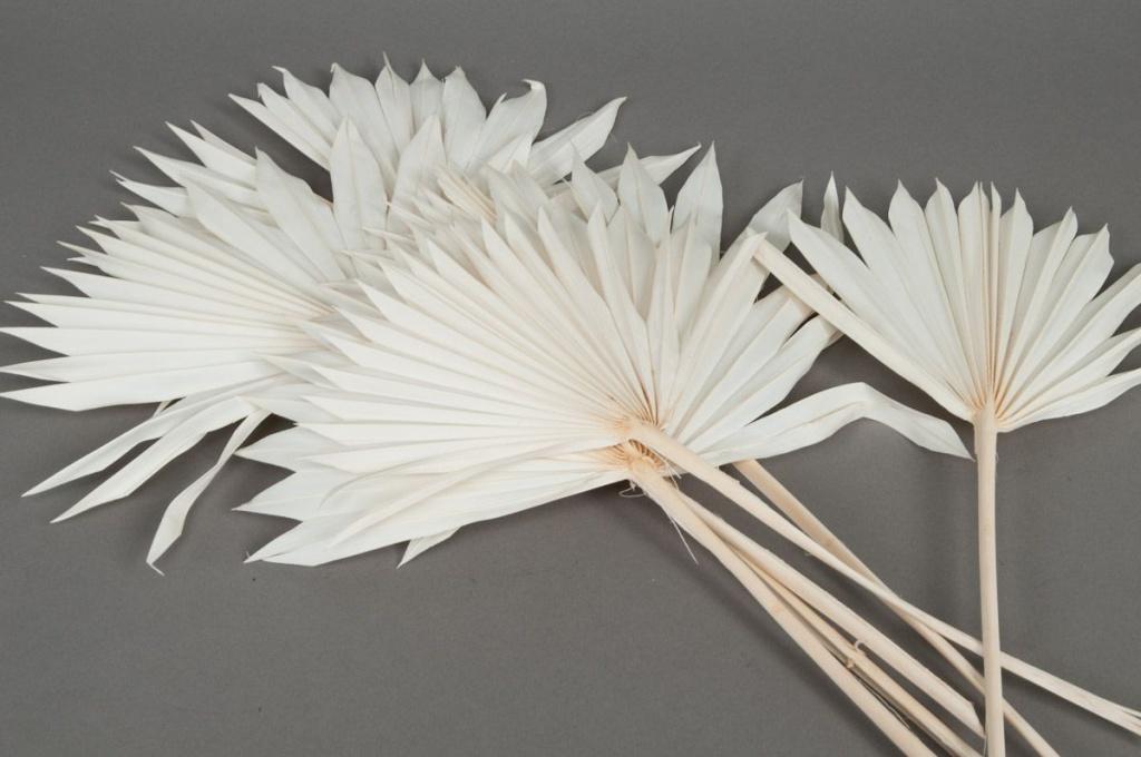 ae19ab Palm sun blanchi H60cm