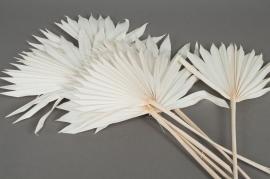 ae19ab Whiten palm sun H60cm