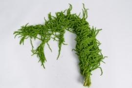 r031ab Amaranthus caudactus vert printemps