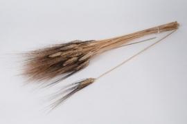 o099ab Blé barbu naturel noir H65cm