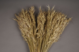 o057ab Bunch of natural dried oats H75cm