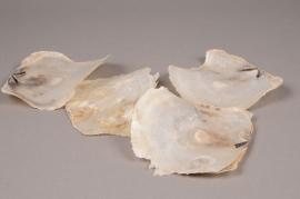 cb39wg bag of 1kg of White round placuna shells 10cm