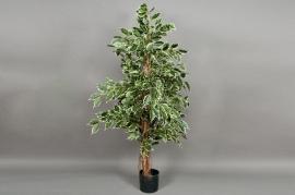 Ficus exotica panaché H150cm