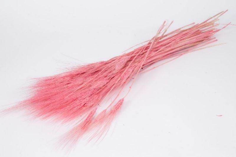 g099ab Blé barbu rose pâle