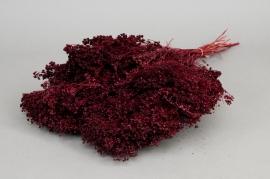 m115ab Broom bloom rouge bordeaux