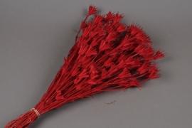 n725ab Nigelle orientalis rouge H50cm