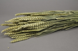 o093dn Bunch of wheat natural