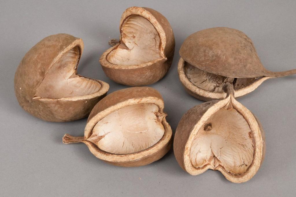 o105wg Paquet de 8 budhas noix naturel