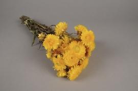 o463kh Immortelle séchée naturelle jaune H46cm