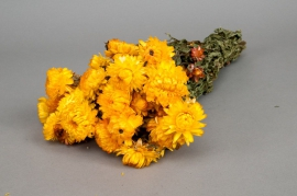 o463kh Yellow dried strawflower H46cm