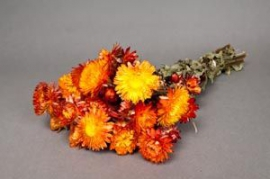 o467kh Orange natural dried Helichrysum H46cm