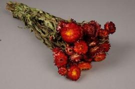 o479kh Immortelle séchée naturelle rouge H46cm