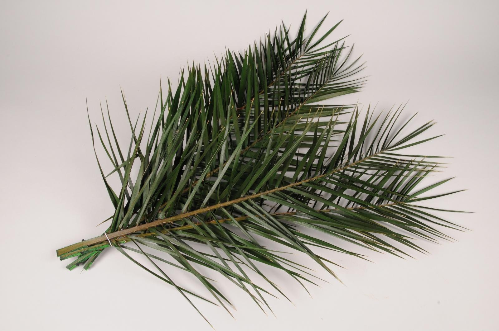 pf06vv Set de 5 feuilles de palme stabilisées vertes H78cm