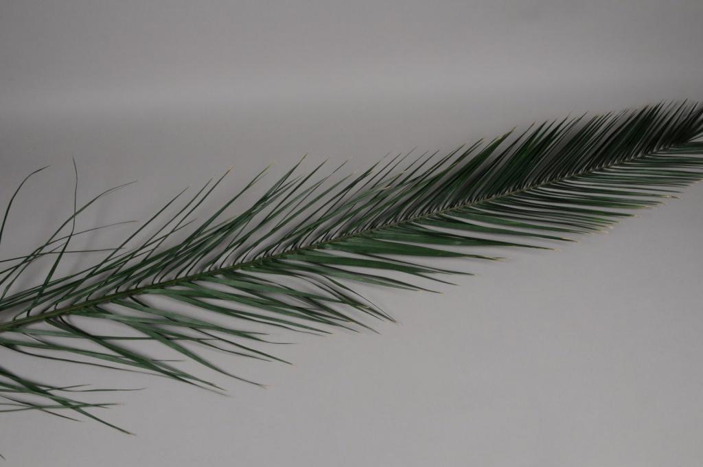 pf12vv Set de 5 feuilles de palme stabilisé H150cm