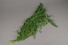 r031ab Amaranthe Caudatus préservée verte L75cm
