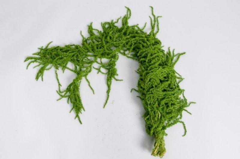 r031ab Spring green amaranthus Caudatus
