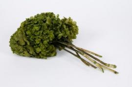 r445ab Hortensia préservé vert H40cm