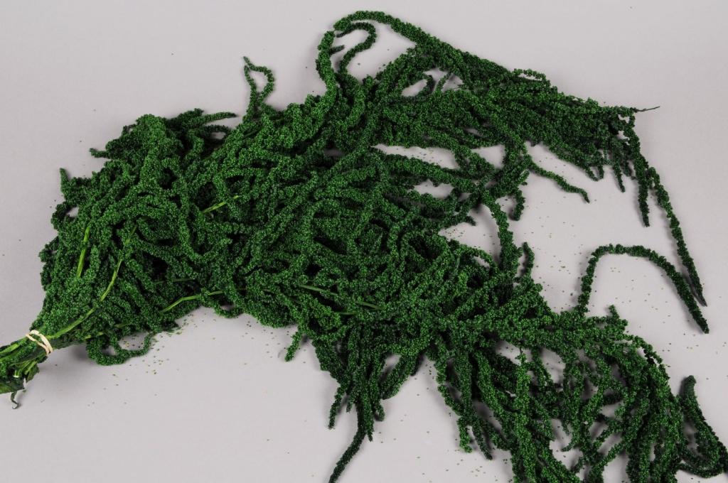 t031ab Amaranthus caudactus préservé vert mousse