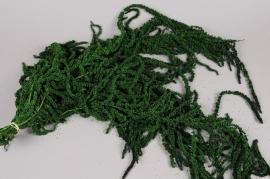 t031ab Amaranthus caudactus preserved moss green