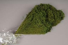 t115ab Green broom bloom H50cm