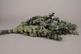 tf30ab Eucalyptus espiral stabilisé vert H50/60cm