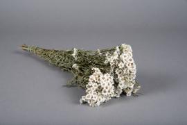 x001tf Ixodia séché naturel blanc H40cm