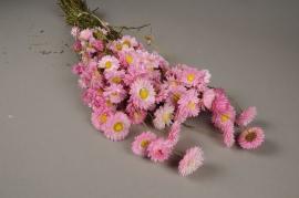 x002kh Botte d'acroclinium rose naturelle séchée H46cm