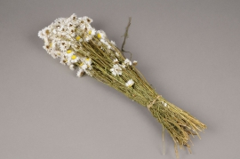 x003kh White dried strawflower H46cm