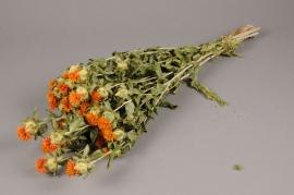 x004kh Carthamus orange naturel D6cm H65cm