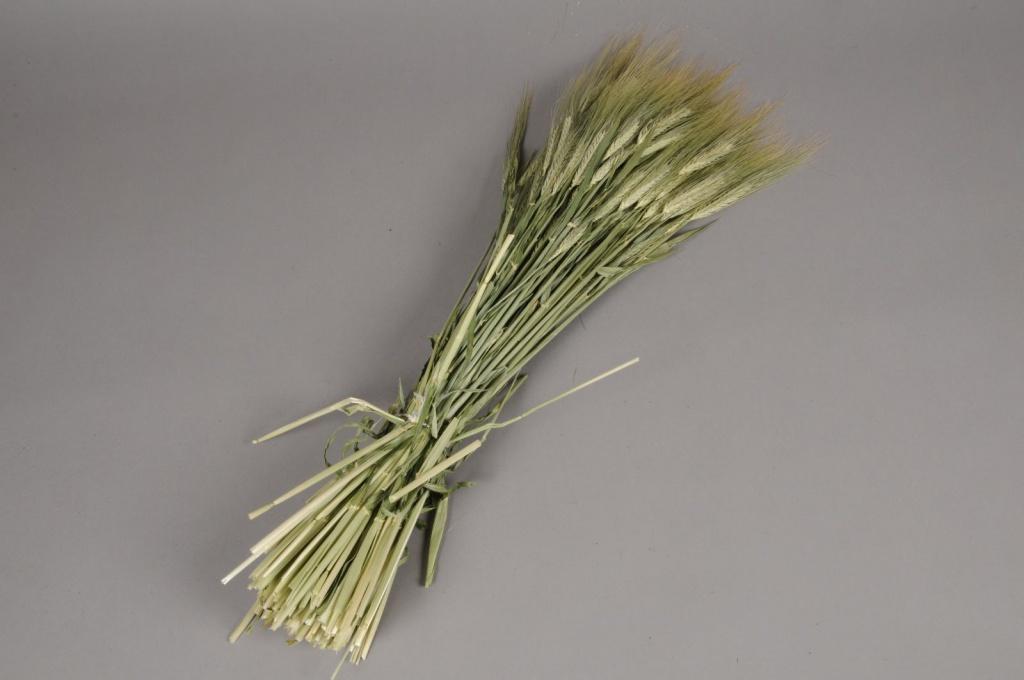 x005kh Natural dried wheat hodeum H65cm
