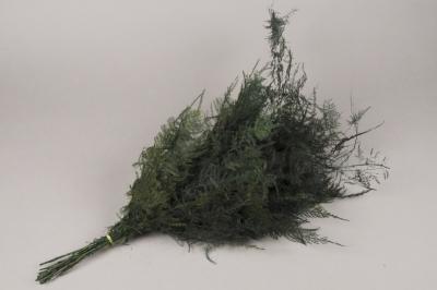 x011ab Pack of green preserved asparagus fern H70cm