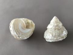 x017ma Pack of 6 pearl astrea undosa