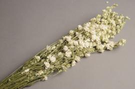 x018dn Branche de delphinium séché blanc H65cm