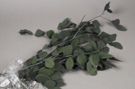 x022vv Paquet d'eucalyptus populus stabilisé vert H80cm