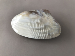 x027ma Clam closed pearly