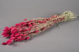 x030dn Phalaris séché rose H70cm