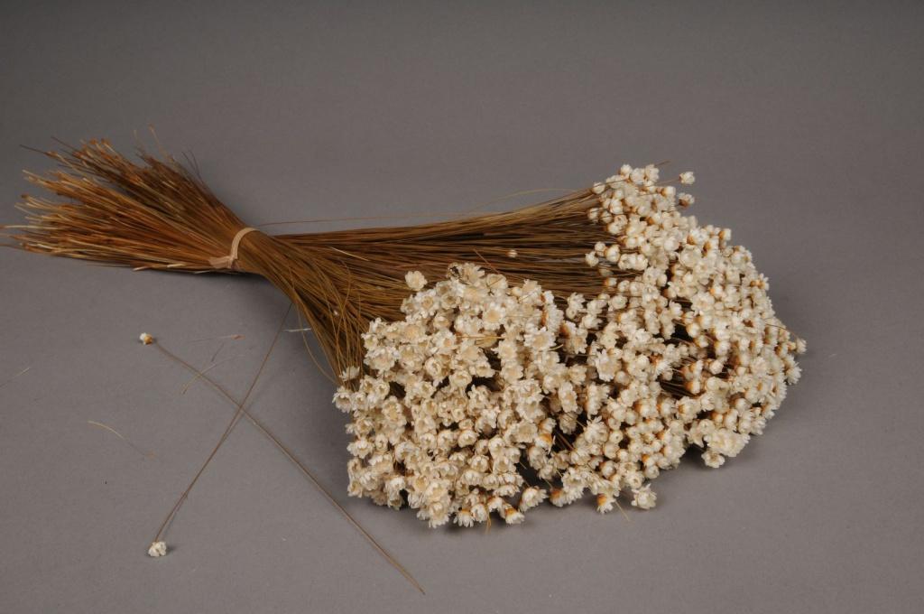 x043ab Natural dried glixia H50cm