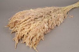 x051dn Bunch of natural dried fescue H100cm