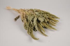 x067hm Amaranthe séchée naturelle verte H52cm