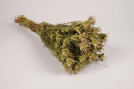 x068hm Nigelle orientalis séchée naturelle verte H60cm