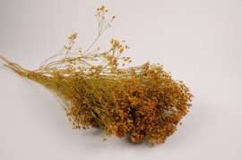 x078kh Broom bloom séché jaune H55cm