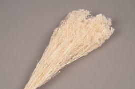 x088gs Broom bloom preservé blanc