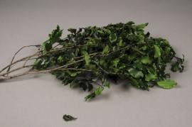 x091ab Pittosporum stabilisé vert H50cm