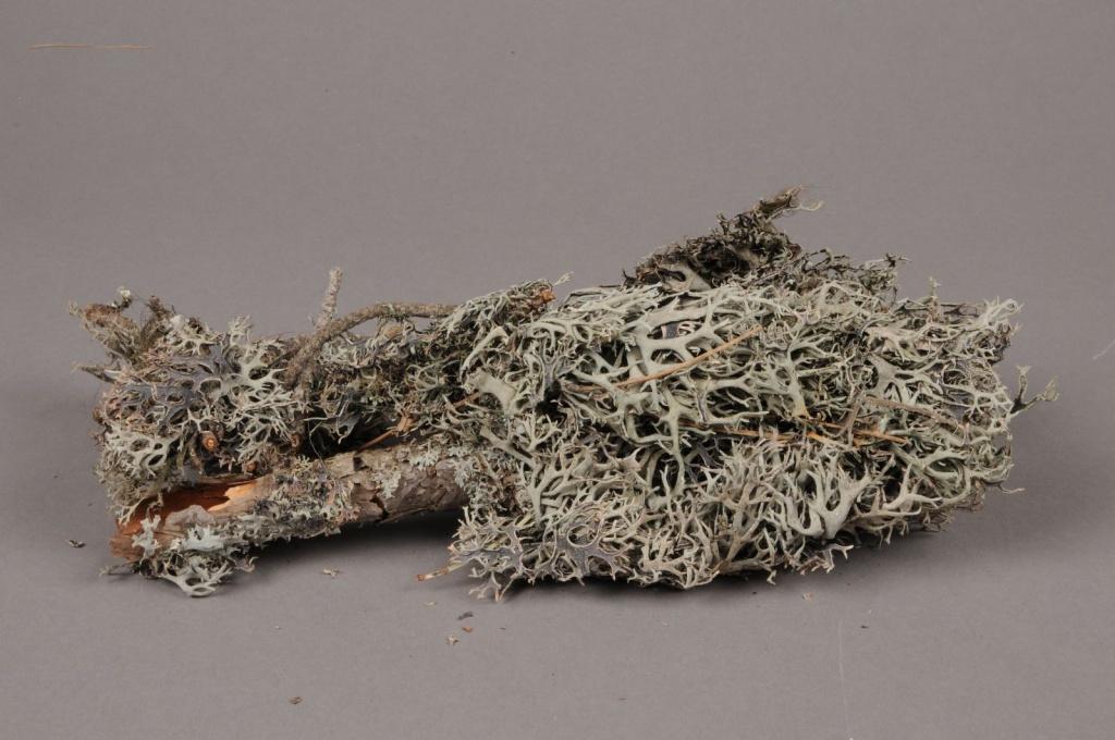 x098wg Boîte de mousse de chêne sur bois naturel